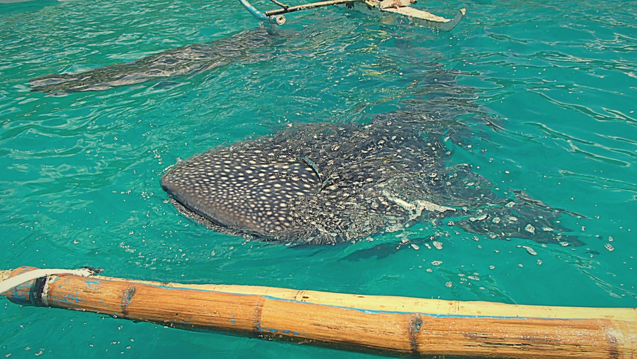 th_whale_shark_Fotor
